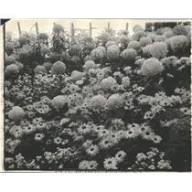 1924 Press Photo Chrysostom Flower - RRY17315