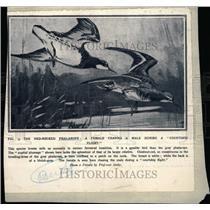1930 Press Photo Red-Necked Phalarope/Bird - RRW71239