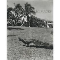1965 Press Photo Peacock At Laurance S. Rockefeller Resort Estate Good Hope