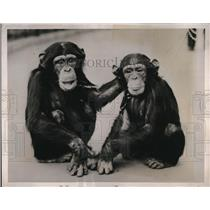 1938 Press Photo London England George & Jublee the chimps at zoo