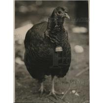1926 Press Photo Louis Kuertz of Loveland Ohio turkey on his farm