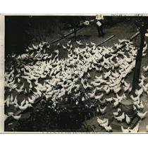 1926 Press Photo WH Coweley & his chicken flocks at a farm