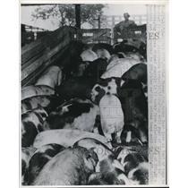 1946 Press Photo farmer looks at load of hogs trucked into KC stockyards, Kansas
