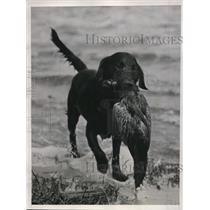 1937 Press Photo WA Harrimans dog Peconic Pine Arden retrieves a duck