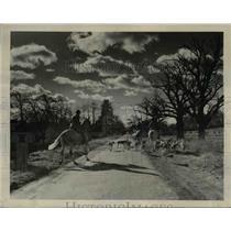 1939 Press Photo Hunting Riders and Hounds Near Huntington L.I. - nee42717