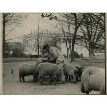1920 Press Photo Sheep at the White House  - nee45236