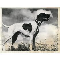 1938 Press Photo Ace High Rex bird dog at field trials in Miami Florida