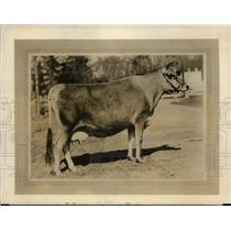 1928 Press Photo Imp Concalaise Imported Jersey Cow Owned by Carll Tucker