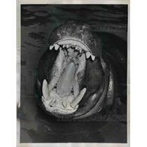 1957 Press Photo Hippopotamus sneezes at Vincennes Zoo in Paris  - nee93167