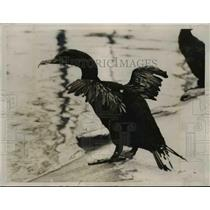 1935 Press Photo Flightless Cormorants along the coast of South Pacific