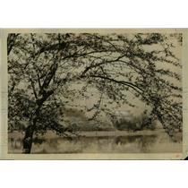 1924 Press Photo Japanese Cherry Blossoms surrounding speedway at Washington