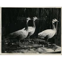1930 Press Photo Rare India Bar-head geese - nef00415
