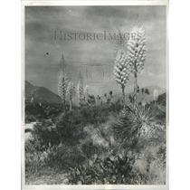 1931 Press Photo Yucca Plant