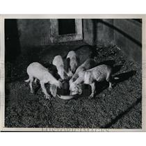 1945 Press Photo Ten week old puppies at a meal at training school - net17636