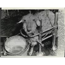 1942 Press Photo Unharmed Goat found in target ship in Bikini Lagoon after blast