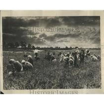 1928 Press Photo Immigrant Workers in Cranberry Bogs - RRR89119
