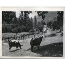 1958 Press Photo Tour de France cyclists speeding by a cow pasture near Toulouse