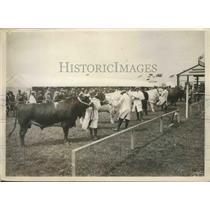 1928 Press Photo Judging of Pedigree Dairy Shorthorn Bull Class  - ney26126