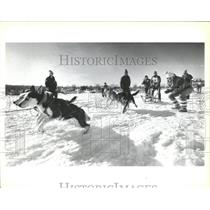 1987 Press Photo Dog Sled Race