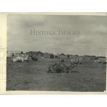 Press Photo Jubiute Somaliland Camels Laying Down