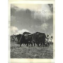 1941 Press Photo Dominican Farmer w/ Oxen on Peanut Plantation - ftx02245