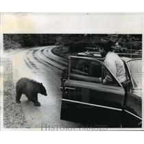 1965 Press Photo Brown bear approaching car in Rocky Mountains in Montana