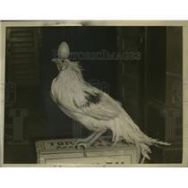 1926 Press Photo Yokahama Rooster Balancing Egg on Its Head - neo04289