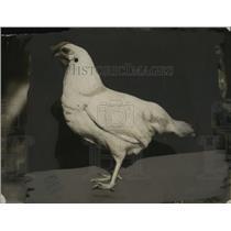 1924 Press Photo Leghorn Chicken of Cherryland, California - neo04292