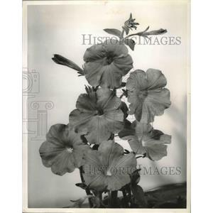1901 Press Photo A coral satin petunia flower - mjb35622