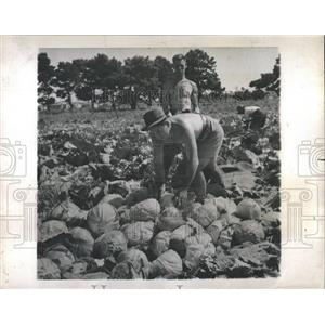 1945 Press Photo Cabbages Harvest New Zealand - RRX83033