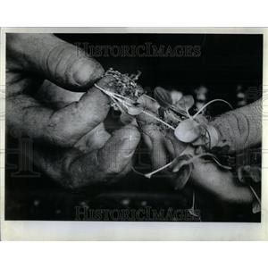 1982 Press Photo Seedlings From Flats To Pots Goebbert - RRU98215