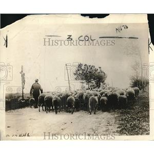 1918 Press Photo French sheep herder driving his flock home