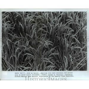 1917 Press Photo Rice field