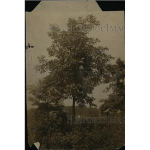 1911 Press Photo The oak tree - cva79409