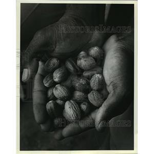 1981 Press Photo Handful of Nutmeg from Gouyave, Grenada - mja03524