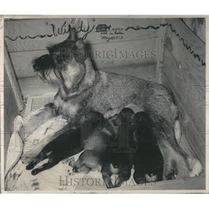 1950 Press Photo Animals - RRR81359