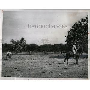 1964 Press Photo Venezuelan Roping Cattle Method