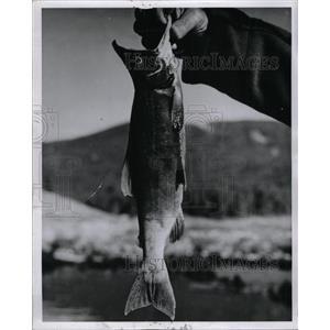 1964 Press Photo Kokanee Salmon