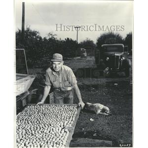 1948 Press Photo John Boden Harvest Walnuts - RRW34745