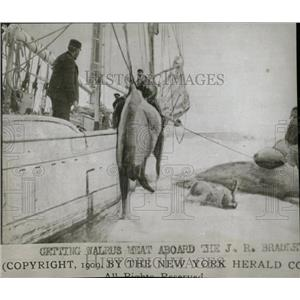 1909 Press Photo Walrus Hunting/Boat/Sailing - RRW78221