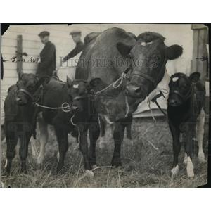 1920 Press Photo cow gives birth to triplets