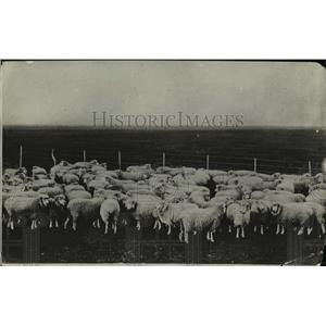 1918 Press Photo Sheep in a field - nee45231