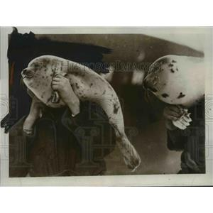 1933 Press Photo Young Seals captured bu Hunters from the Ice breaker Sibiriako