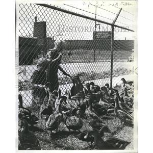 1939 Press Photo Nelson Boys Feed Ducks on Olson Haven - RRR13643