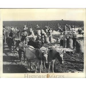 1944 Press Photo Sao Paulo, Brazil Cotton Pickers - ftx02147