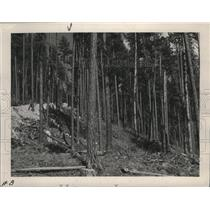 1951 Press Photo Selective Cutting of Ponderosa Pine, Kootenai National Forest