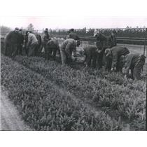 1956 Press Photo Griffith state nursery, seedlings transplanted, Wisconsin.