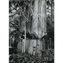 1906 Press Photo Logger lying inside the undercut of a Cedar tree- Photo exhibit
