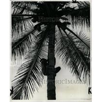 1964 Press Photo Jamaican Brimmer Hall Coconut Tree - RRX70319