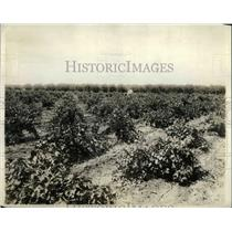 1919 Press Photo Grape Orchard